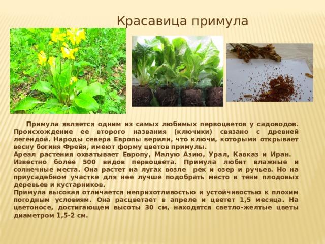Красавица примула  Примула является одним из самых любимых первоцветов у садоводов. Происхождение ее второго названия (ключики) связано с древней легендой. Народы севера Европы верили, что ключи, которыми открывает весну богиня Фрейя, имеют форму цветов примулы. Ареал растения охватывает Европу, Малую Азию, Урал, Кавказ и Иран. Известно более 500 видов первоцвета. Примула любит влажные и солнечные места. Она растет на лугах возле рек и озер и ручьев. Но на приусадебном участке для нее лучше подобрать место в тени плодовых деревьев и кустарников. Примула высокая отличается неприхотливостью и устойчивостью к плохим погодным условиям. Она расцветает в апреле и цветет 1,5 месяца. На цветоносе, достигающем высоты 30 см, находятся светло-желтые цветы диаметром 1,5-2 см.