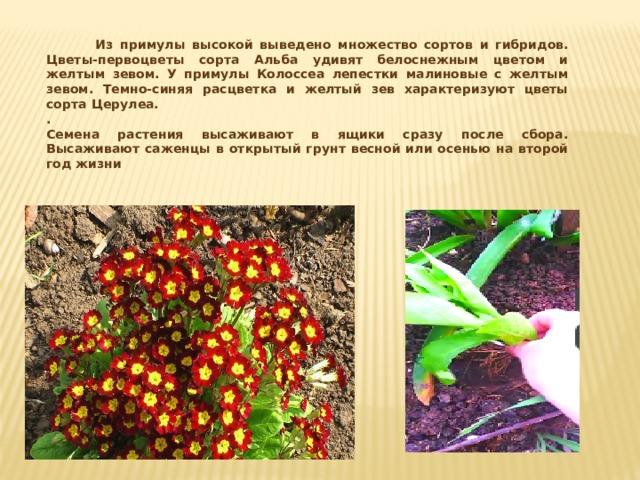 Из примулы высокой выведено множество сортов и гибридов. Цветы-первоцветы сорта Альба удивят белоснежным цветом и желтым зевом. У примулы Колоссеа лепестки малиновые с желтым зевом. Темно-синяя расцветка и желтый зев характеризуют цветы сорта Церулеа. . Семена растения высаживают в ящики сразу после сбора. Высаживают саженцы в открытый грунт весной или осенью на второй год жизни