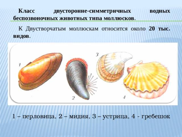 Класс двусторонне-симметричных водных беспозвоночных животных типа моллюсков .  К Двустворчатым моллюскам относится около 20 тыс. видов . 1 – перловица, 2 – мидия, 3 – устрица, 4 - гребешок
