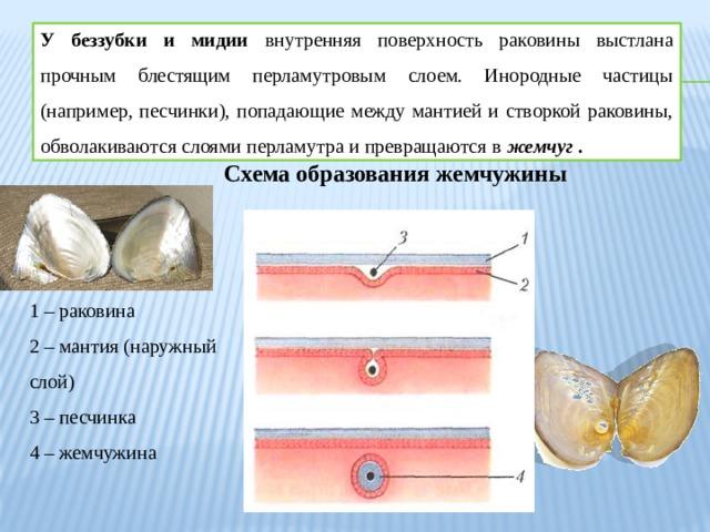 У беззубки и мидии внутренняя поверхность раковины выстлана прочным блестящим перламутровым слоем. Инородные частицы (например, песчинки), попадающие между мантией и створкой раковины, обволакиваются слоями перламутра и превращаются в жемчуг . Схема образования жемчужины 1 – раковина 2 – мантия (наружный слой) 3 – песчинка 4 – жемчужина