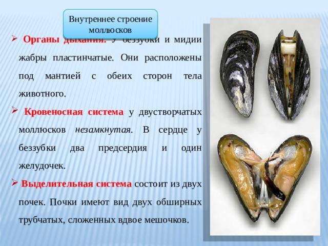 Внутреннее строение моллюсков  Органы дыхания. У беззубки и мидии жабры пластинчатые. Они расположены под мантией с обеих сторон тела животного.  Кровеносная система у двустворчатых моллюсков незамкнутая. В сердце у беззубки два предсердия и один желудочек.  Выделительная система состоит из двух почек. Почки имеют вид двух обширных трубчатых, сложенных вдвое мешочков.