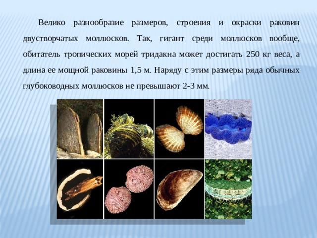 Велико разнообразие размеров, строения и окраски раковин двустворчатых моллюсков. Так, гигант среди моллюсков вообще, обитатель тропических морей тридакна может достигать 250 кг веса, а длина ее мощной раковины 1,5 м. Наряду с этим размеры ряда обычных глубоководных моллюсков не превышают 2-3 мм.