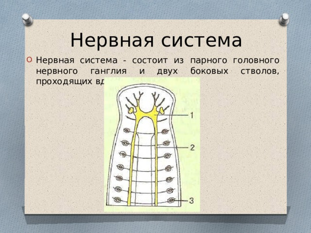 Нервная система Нервная система - состоит из парного головного нервного ганглия и двух боковых стволов, проходящих вдоль тела