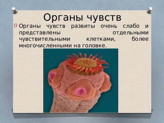 Органы чувств Органы чувств развиты очень слабо и представлены отдельными чувствительными клетками, более многочисленными на головке.