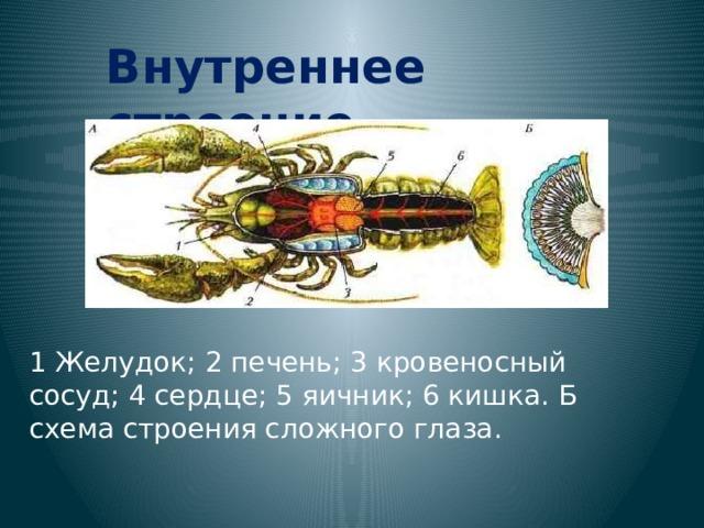 Внутреннее строение. 1 Желудок; 2 печень; 3 кровеносный сосуд; 4 сердце; 5 яичник; 6 кишка. Б схема строения сложного глаза.