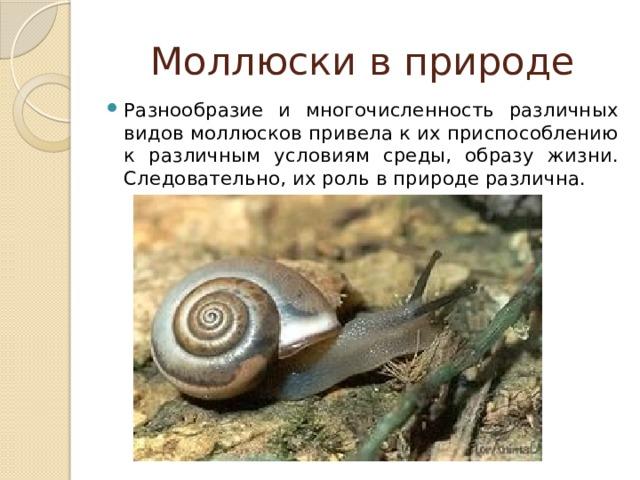 Моллюски в природе Разнообразие и многочисленность различных видов моллюсков привела к их приспособлению к различным условиям среды, образу жизни. Следовательно, их роль в природе различна.