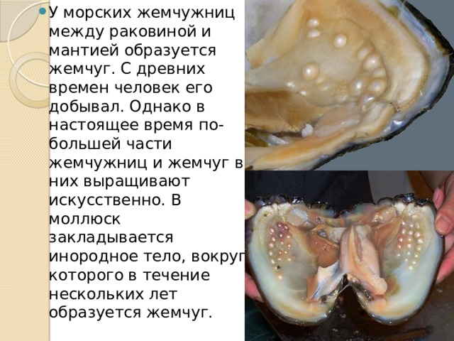 У морских жемчужниц между раковиной и мантией образуется жемчуг. С древних времен человек его добывал. Однако в настоящее время по-большей части жемчужниц и жемчуг в них выращивают искусственно. В моллюск закладывается инородное тело, вокруг которого в течение нескольких лет образуется жемчуг.
