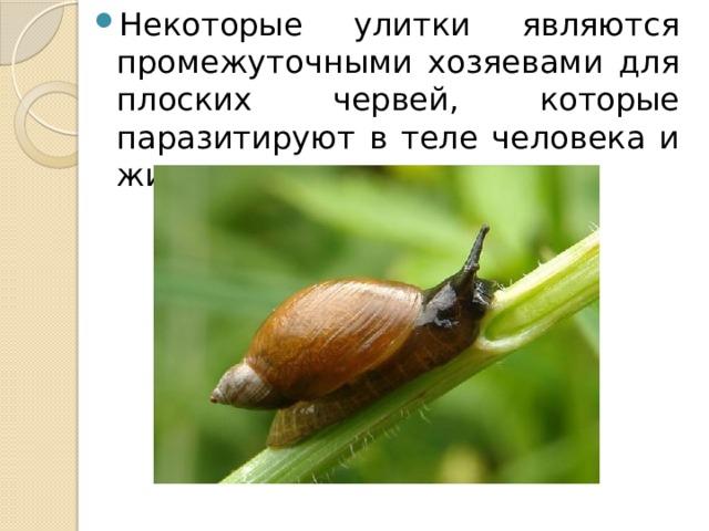 Некоторые улитки являются промежуточными хозяевами для плоских червей, которые паразитируют в теле человека и животных.