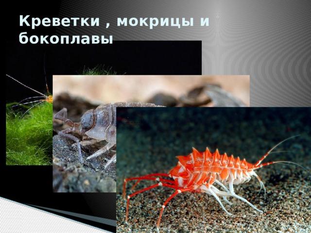 Креветки , мокрицы и бокоплавы