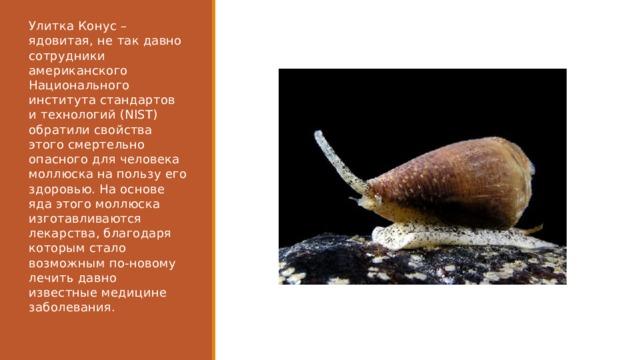 Улитка Конус – ядовитая, не так давно сотрудники американского Национального института стандартов и технологий (NIST) обратили свойства этого смертельно опасного для человека моллюска на пользу его здоровью. На основе яда этого моллюска изготавливаются лекарства, благодаря которым стало возможным по-новому лечить давно известные медицине заболевания.