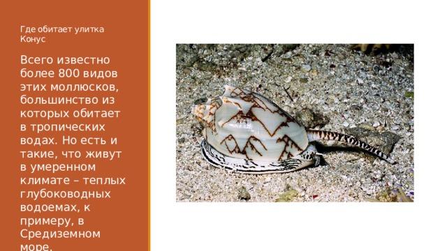 Где обитает улитка Конус Всего известно более 800 видов этих моллюсков, большинство из которых обитает в тропических водах. Но есть и такие, что живут в умеренном климате – теплых глубоководных водоемах, к примеру, в Средиземном море.