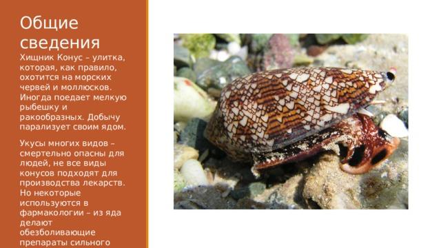 Общие сведения Хищник Конус – улитка, которая, как правило, охотится на морских червей и моллюсков. Иногда поедает мелкую рыбешку и ракообразных. Добычу парализует своим ядом. Укусы многих видов – смертельно опасны для людей, не все виды конусов подходят для производства лекарств. Но некоторые используются в фармакологии – из яда делают обезболивающие препараты сильного действия, которые не вызывают наркотическую зависимость.