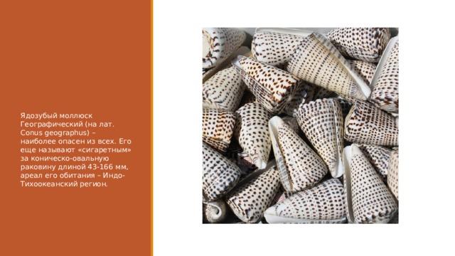 Ядозубый моллюск Географический (на лат. Conus geographus) – наиболее опасен из всех. Его еще называют «сигаретным» за коническо-овальную раковину длиной 43-166 мм, ареал его обитания – Индо-Тихоокеанский регион.