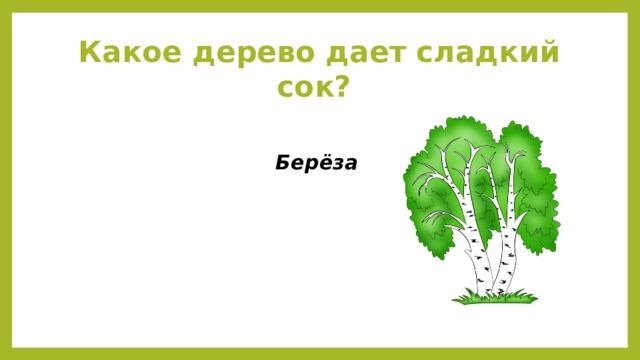 Какое дерево дает сладкий сок? Берёза