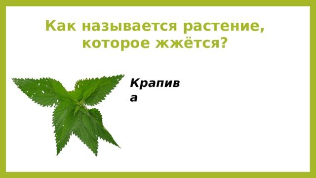 Как называется растение, которое жжётся? Крапива
