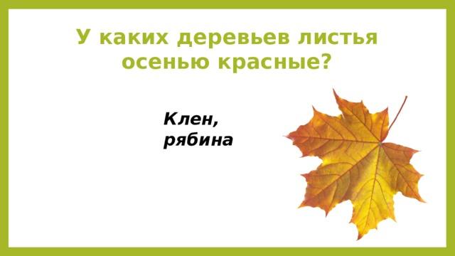 У каких деревьев листья осенью красные? Клен, рябина