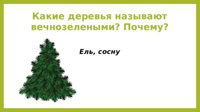 Какие деревья называют вечнозелеными? Почему? Ель, сосну