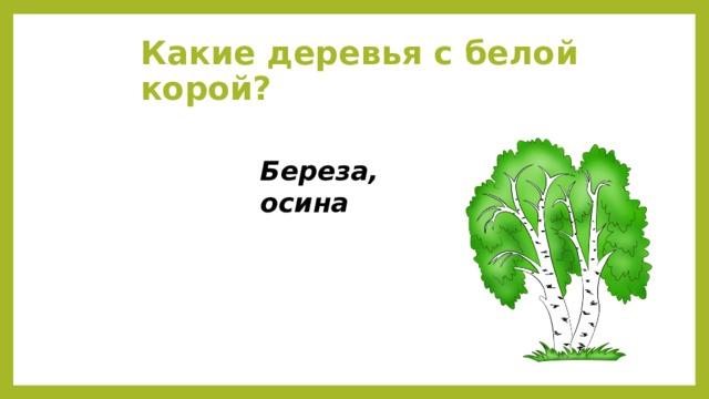 Какие деревья с белой корой? Береза, осина