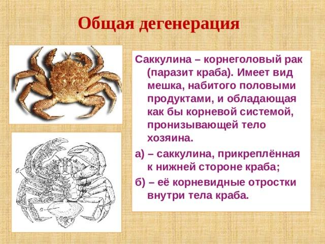 Общая дегенерация Саккулина – корнеголовый рак (паразит краба). Имеет вид мешка, набитого половыми продуктами, и обладающая как бы корневой системой, пронизывающей тело хозяина. а) – саккулина, прикреплённая к нижней стороне краба; б) – её корневидные отростки внутри тела краба.