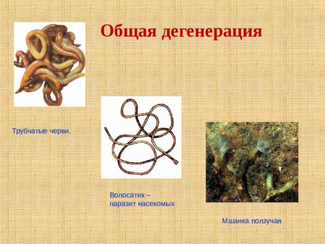 Общая дегенерация Трубчатые черви. Волосатик – паразит насекомых Мшанка ползучая