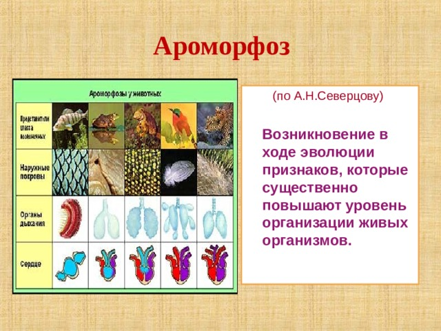 Ароморфоз  (по А.Н.Северцову)  Возникновение в ходе эволюции признаков, которые существенно повышают уровень организации живых организмов.