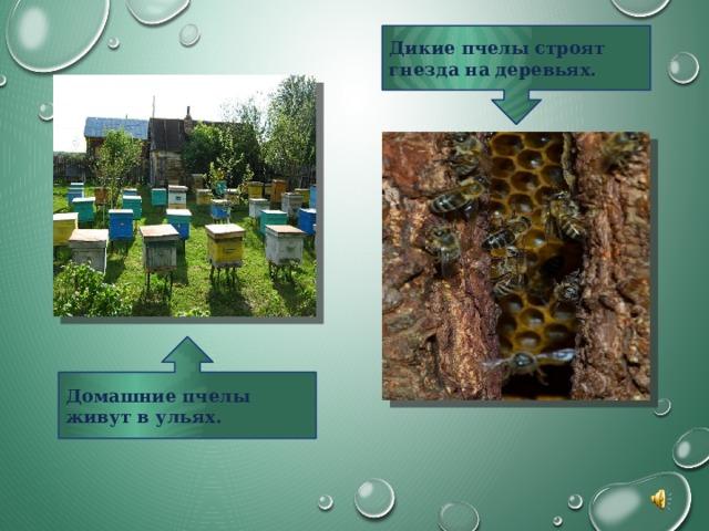 Дикие пчелы строят гнезда на деревьях. Домашние пчелы живут в ульях.