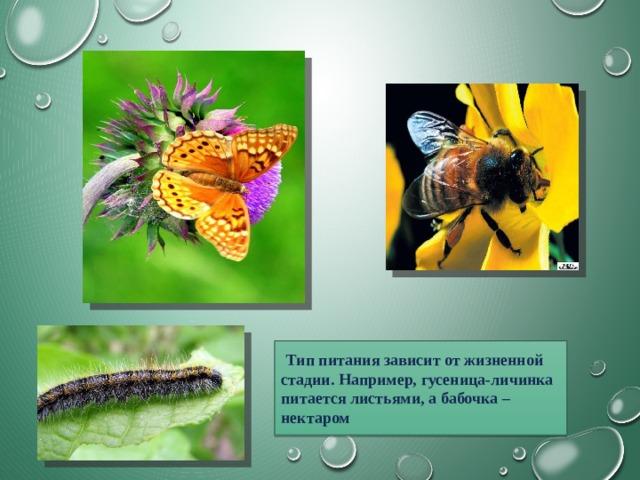 Тип питания зависит от жизненной стадии. Например, гусеница-личинка питается листьями, а бабочка – нектаром