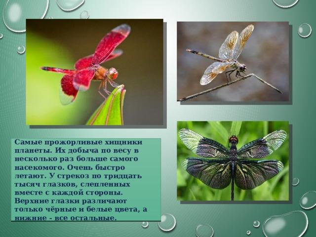 Самые прожорливые хищники планеты. Их добыча по весу в несколько раз больше самого насекомого. Очень быстро летают. У стрекоз по тридцать тысяч глазков, слепленных вместе с каждой стороны. Верхние глазки различают только чёрные и белые цвета, а нижние - все остальные.