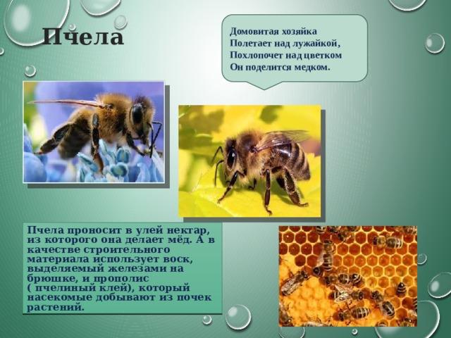 Пчела Домовитая хозяйка Полетает над лужайкой, Похлопочет над цветком  Он поделится медком. Пчела проносит в улей нектар, из которого она делает мёд. А в качестве строительного материала использует воск, выделяемый железами на брюшке, и прополис ( пчелиный клей), который насекомые добывают из почек растений.