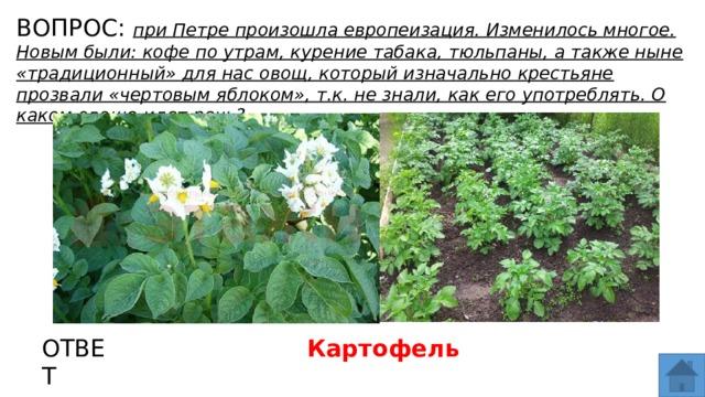 ВОПРОС: при Петре произошла европеизация. Изменилось многое. Новым были: кофе по утрам, курение табака, тюльпаны, а также ныне «традиционный» для нас овощ, который изначально крестьяне прозвали «чертовым яблоком», т.к. не знали, как его употреблять. О каком овоще идет речь? МЕСТО ДЛЯ ВСТАВКИ ИЗОБРАЖЕНИЯ ОТВЕТ Картофель