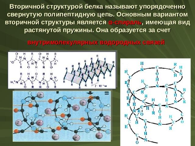 Вторичной структурой белка  называют упорядоченно свернутую полипептидную цепь. Основным вариантом вторичной структуры является α -спираль , имеющая вид растянутой пружины. Она образуется за счет внутримолекулярных водородных связей