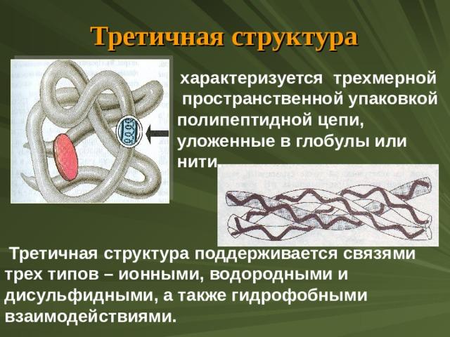 Третичная структура  характеризуется трехмерной  пространственной упаковкой полипептидной цепи, уложенные в глобулы или нити.  Третичная структура поддерживается связями трех типов – ионными, водородными и дисульфидными, а также гидрофобными взаимодействиями.