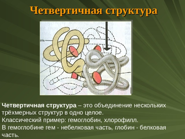 Четвертичная структура Четвертичная структура – это объединение нескольких трёхмерных структур в одно целое. Классический пример: гемоглобин, хлорофилл. В гемоглобине гем - небелковая часть, глобин - белковая часть.