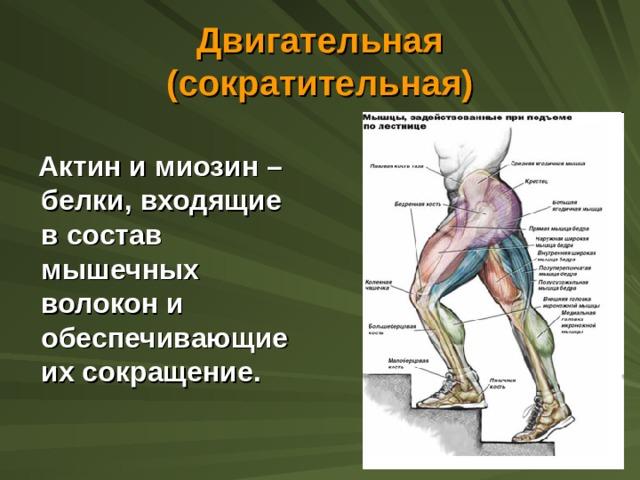Двигательная (сократительная)  Актин и миозин – белки, входящие в состав мышечных волокон и обеспечивающие их сокращение.