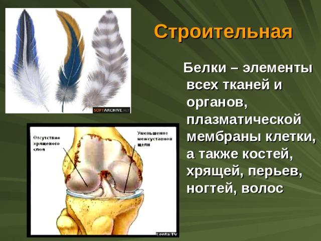 Строительная  Белки – элементы всех тканей и органов, плазматической мембраны клетки, а также костей, хрящей, перьев, ногтей, волос