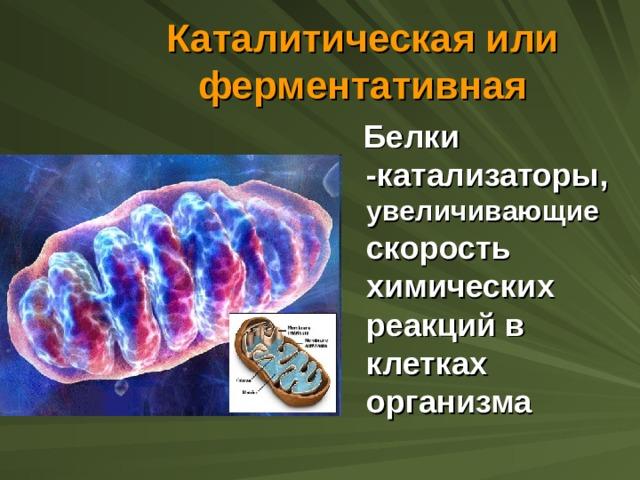 Каталитическая или ферментативная  Белки -катализаторы, увеличивающие скорость химических реакций в клетках организма