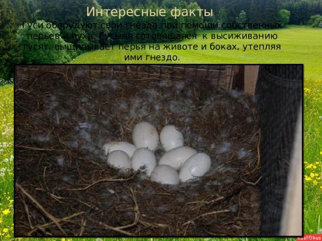 Интересные факты Гуси оборудуют свои гнёзда при помощи собственных перьев и пуха. Гусыня готовящаяся к высиживанию гусят, выщипывает перья на животе и боках, утепляя ими гнездо.