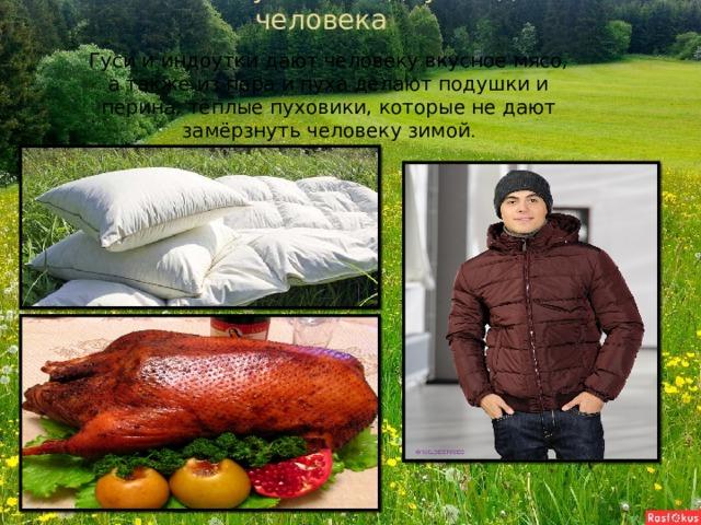 Значение гусей и индоуток для человека Гуси и индоутки дают человеку вкусное мясо, а также из пера и пуха делают подушки и перина, тёплые пуховики, которые не дают замёрзнуть человеку зимой .