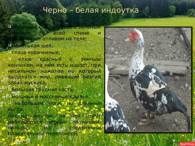 Черно – белая индоутка  оперение смолянистое с зеленым отливом по всей спине и фиолетовым отливом на теле;  маленькая шея;  глаза коричневые;  клюв красный с темным кончиком, на нём есть нарост, при несильном нажатии на который выделится жир, имеющий резкий запах мускуса;  большая грудная часть;  мощные и массивные крылья;  небольшие ноги, но длинные когти, плюсна желтая, по ней могут наблюдаться черные пятнышки, пальцы ног соедененны плавательной перепонкой;