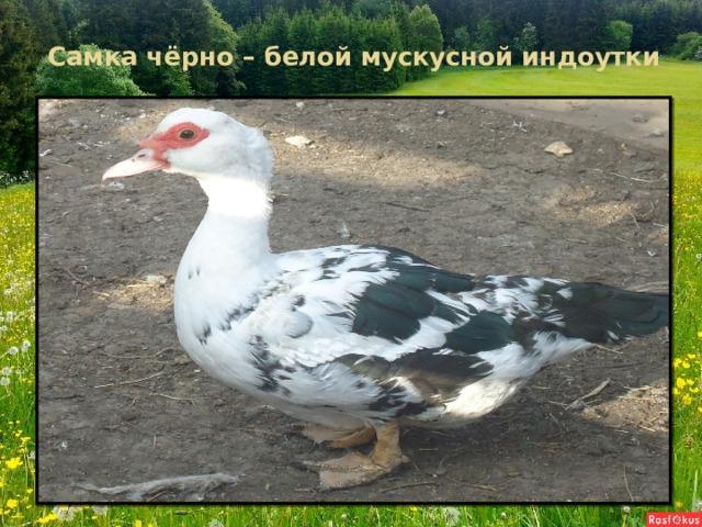 Самка чёрно – белой мускусной индоутки