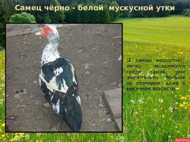 Самец чёрно - белой мускусной утки  самцы индоуток легко выделяются среди самок, они значительно больше по размерам, даже в месячном возрасте;