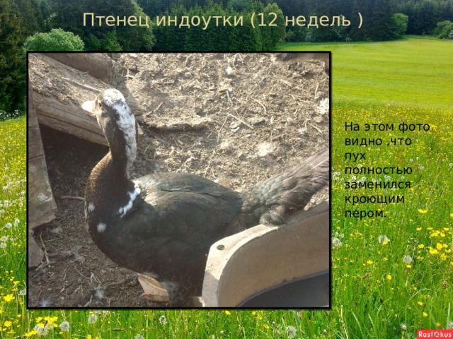 Птенец индоутки (12 недель ) На этом фото видно ,что пух полностью заменился кроющим пером.