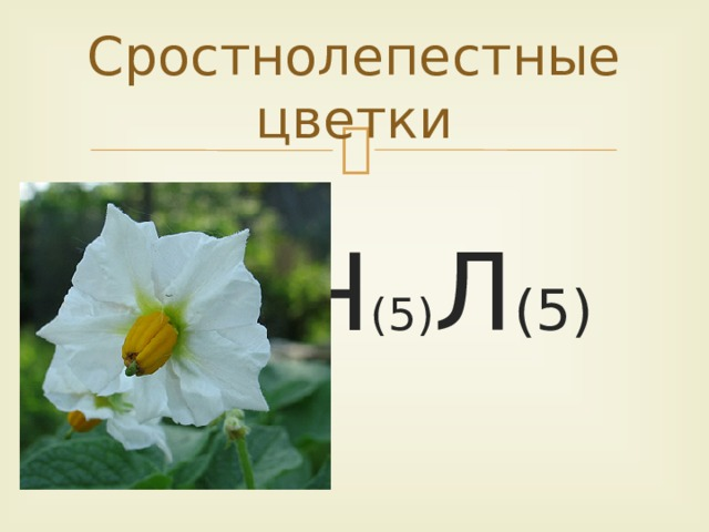 Сростнолепестные цветки  Ч (5) Л (5)