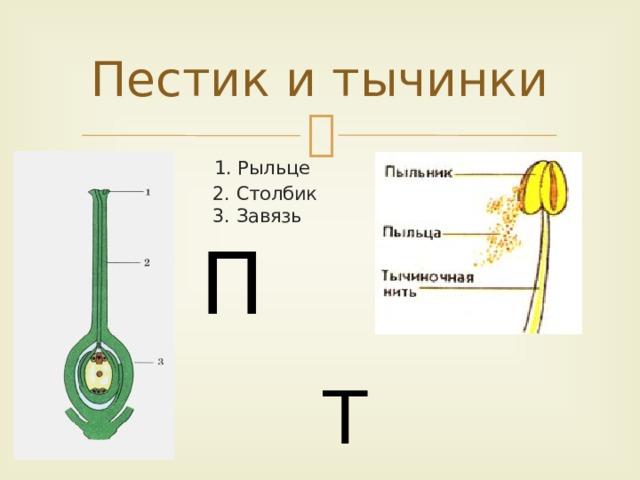 Пестик и тычинки  1. Рыльце  2. Столбик  3. Завязь  Т П