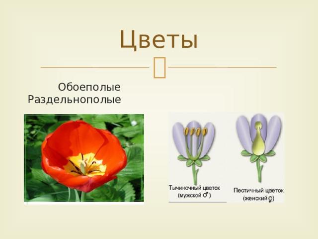 Цветы  Обоеполые Раздельнополые