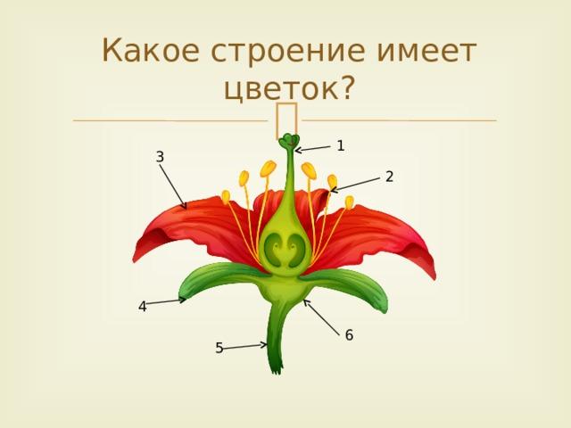 Какое строение имеет цветок? 1 3 2  4  6  5
