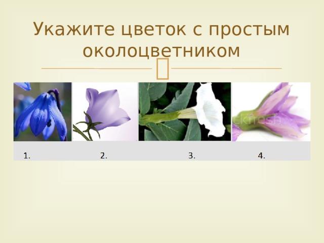 Укажите цветок с простым околоцветником