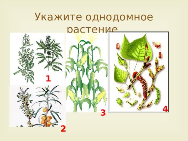 1 3 4 Укажите однодомное растение. 1 2