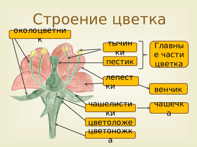 Строение цветка околоцветник Главные части цветка тычинки пестик лепестки венчик чашечка чашелистики цветоложе цветоножка 7