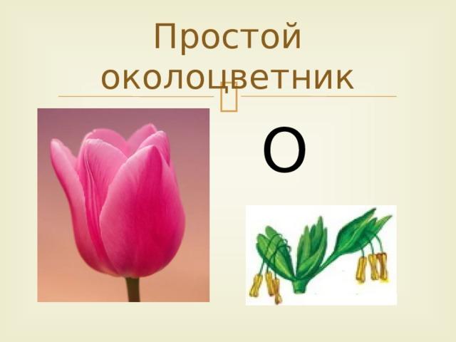 Простой околоцветник О о
